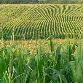 Go to  a corn field - Bucket List Ideas