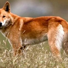 Close-up Encounter - Dingoes - Bucket List Ideas
