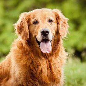 OWN A  GOLDEN RETRIEVER DOG - Bucket List Ideas