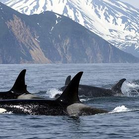 See killer whales in Canada - Bucket List Ideas