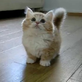 ⚜️Own a Munchkin Cat - Bucket List Ideas