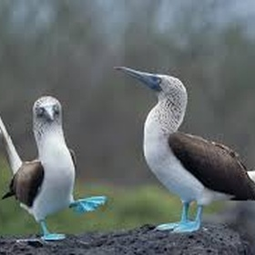 Watch a blue-footed booby dance - Bucket List Ideas