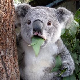 See a koala bear - Bucket List Ideas