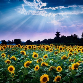 Being in a field of sunflowers - Bucket List Ideas