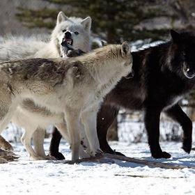 Visit Yamnuska Wolf Dog Sanctuary, Canada - Bucket List Ideas