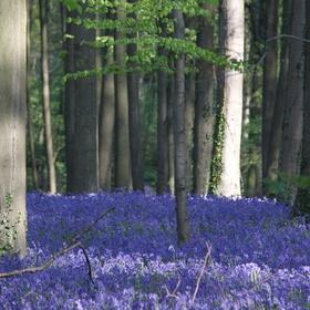 Ga naar het Hallerbos wanneer de hyacinten in bloei staan - Bucket List Ideas