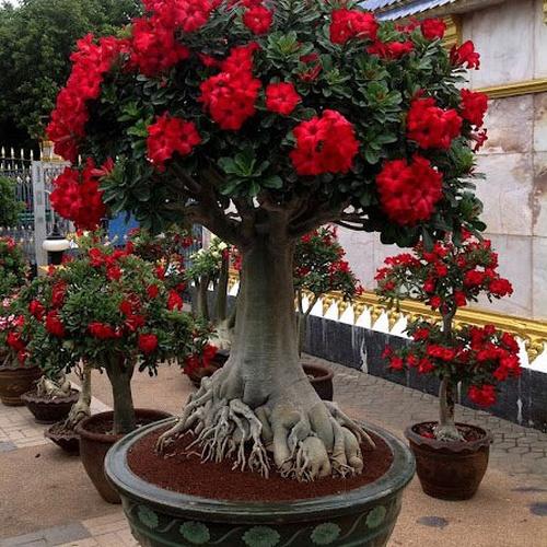 See flowers of my Adeniums - Bucket List Ideas