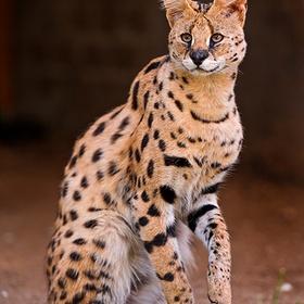 Have an African Cat Encounter - Bucket List Ideas