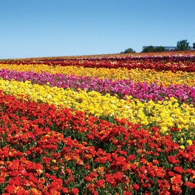 See the flower fields of Carlsbad, CA - Bucket List Ideas