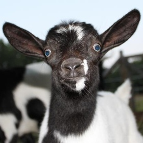Own a goat farm - Bucket List Ideas