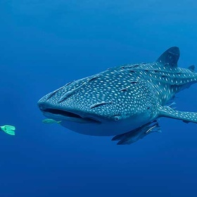 Swim with a whale sharks - Bucket List Ideas