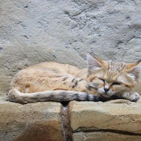 See a sand cat - Bucket List Ideas