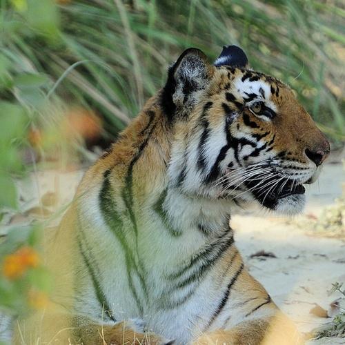 Tiger Watch in India - Bucket List Ideas