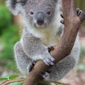 See a Koala - Bucket List Ideas