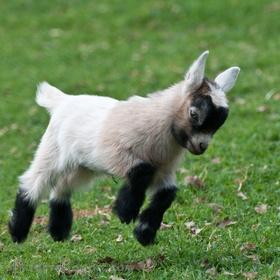 Own a pygmy goat - Bucket List Ideas