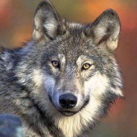 Meet a wolf - Bucket List Ideas