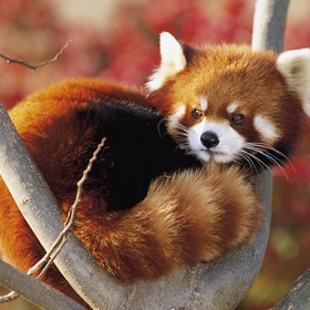 Play with a Red Panda - Bucket List Ideas