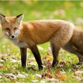 See a fox - Bucket List Ideas