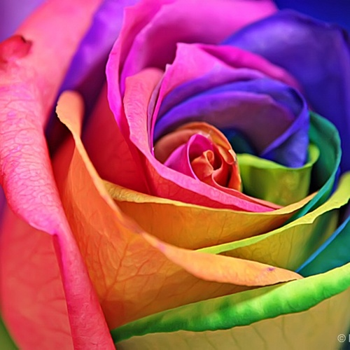 Make a rainbow rose - Bucket List Ideas