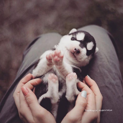 Raising a puppy of Husky - Bucket List Ideas
