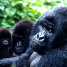 See a mountain gorilla in the wild | Rwanda - Bucket List Ideas