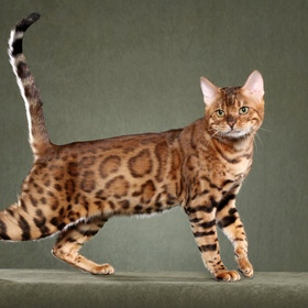 Own a Bengal breed cat - Bucket List Ideas