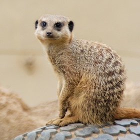 Touch and play with Meerkats - Bucket List Ideas