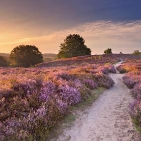 See The Veluwe in bloom, Netherlands - Bucket List Ideas