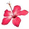 hibisca