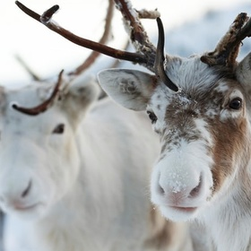 See a reindeer - Bucket List Ideas