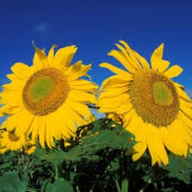 Grow Sunflowers - Bucket List Ideas