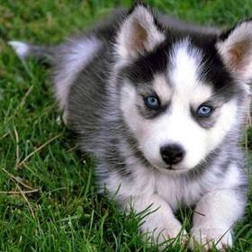 Get a Husky Puppy! - Bucket List Ideas