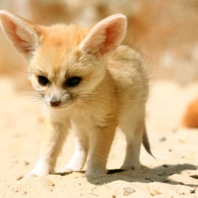 ⚜️Own a Fennec fox - Bucket List Ideas