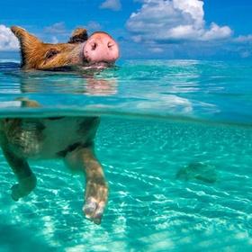 Go to Pig Beach - Bucket List Ideas