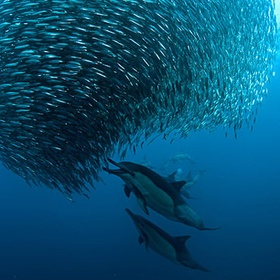 Dive at the Sardine Run in South Africa - Bucket List Ideas