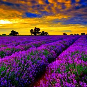 See a lavender field - Bucket List Ideas
