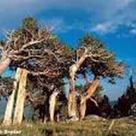 Visit Bristelcone Forest (Oldest Trees in the World), California - Bucket List Ideas