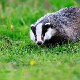 See a badger in the wild - Bucket List Ideas