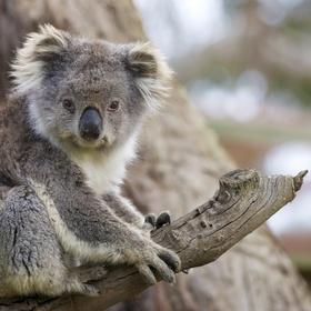 Close-up Encounter- Koala - Bucket List Ideas