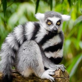 Close-up Encounters - Lemur - Bucket List Ideas
