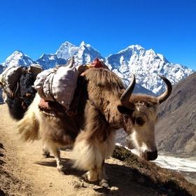 See the Yaks in the Sagarmatha national park - Bucket List Ideas