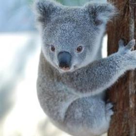 Hold a Koala - Bucket List Ideas