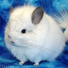 ⚜️Own a Chinchilla - Bucket List Ideas