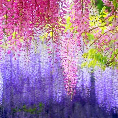 Walk Through the Magical Wisteria Tunnels in The Kawachi Fuji Gardens in Japan - Bucket List Ideas