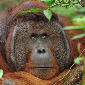 Spot Orangutans in Borneo - Bucket List Ideas