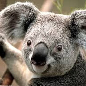 Hold/Hugg a Koala - Bucket List Ideas