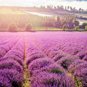 Visit a Lavender Field - Bucket List Ideas