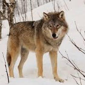 See a wolf - Bucket List Ideas