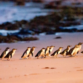 Watch the penguin parade at Philip Island - Bucket List Ideas