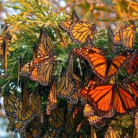 Experience Migrating Monarchs - Bucket List Ideas